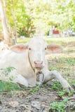 лежать травы коровы Стоковая Фотография RF