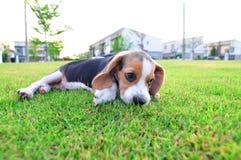 Лежать щенка бигля Стоковые Изображения