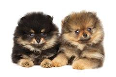 Лежать щенят шпица Pomeranian Тема животного младенца Стоковое Изображение RF