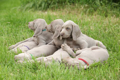 Лежать щенят Weimaraner Vorsterhund Стоковое фото RF