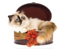 лежать birman подарка коробки внутренний вокруг tortie Стоковая Фотография