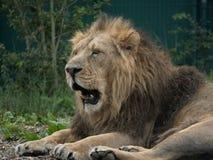 Лежать persica мужского азиатского leo льва/пантеры зевая вниз стоковая фотография rf