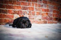 Лежать Terrier собаки сидя на предпосылке кирпича Стоковые Изображения