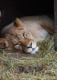 лежат liones Стоковое фото RF