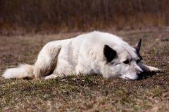 Лежа белая собака Стоковое фото RF