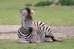 Лежа взгляд крупного плана младенца зебры Стоковое Фото