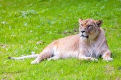 Лежа взгляды львицы Стоковые Фото