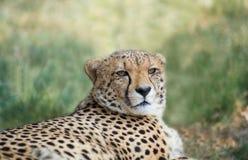 Лежа гепард стоковые изображения