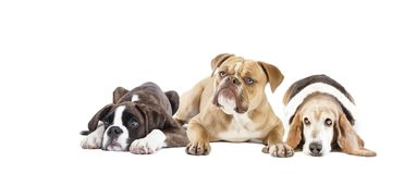 3 лежа изолированной собаки Стоковое Изображение