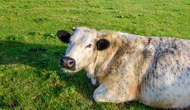 Лежа корова ruminating с испещрянным мехом и черными ушами Стоковые Фото