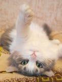 Лежа кот Стоковое Изображение RF