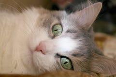 Лежа кот Стоковая Фотография