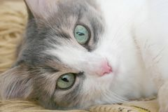 Лежа кот стоковое фото
