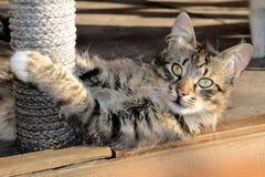 Лежа кот Стоковые Изображения RF