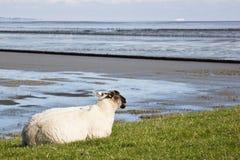 Лежа овцы вдоль Groninger Waddenzee, Нидерландов Стоковое фото RF