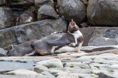 Лежа пингвин Стоковое Фото