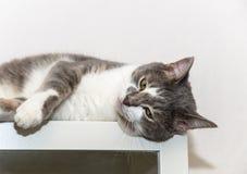 Лежа серый цвет с белым котом Стоковые Изображения RF