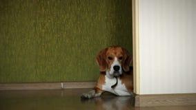 Лежа собака бигля на всходе слайдера пола ламината дома видео- сток-видео