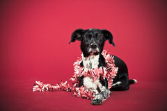 Лежа собака с фестоном Стоковые Фотографии RF