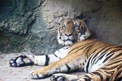 лежа тигр Стоковая Фотография