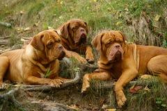 лежа mastiffs 3 стоковые фото