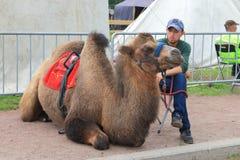 Лежа two-humped верблюд и его водитель Стоковые Фото