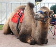 Лежа two-humped верблюд Стоковые Фотографии RF