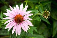 лекарственное растение echinacea Стоковое Фото