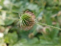 Лекарственное растение medicinale plante benoite Geum стоковое изображение