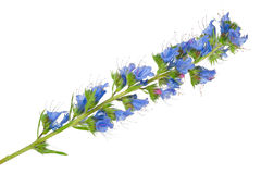 Лекарственное растение: Vulgare Echium стоковое изображение