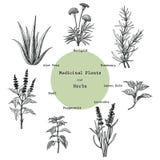 Лекарственные растения и травы вручают чертежу винтажное illust гравировки иллюстрация вектора