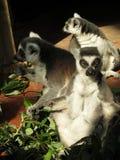 Лемуры грея на солнце в зоопарке Стоковые Изображения
