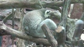 Лемуры, животные зоопарка, живая природа, природа видеоматериал
