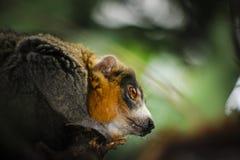 Лемуры мангусты Стоковое Фото