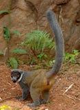 Лемуры мангусты Стоковая Фотография