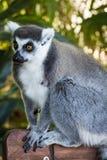 Лемуры Мадагаскара 3 стоковое изображение rf