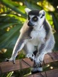 Лемуры Мадагаскара 2 стоковое фото