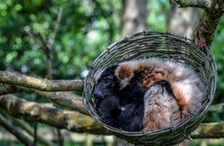 Лемуры спать Стоковая Фотография RF