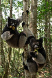 Лемуры Indri в тропическом лесе, Мадагаскаре Стоковое фото RF