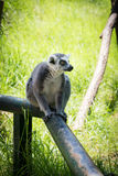 Лемур в зоопарке Хайфы Стоковые Изображения
