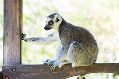 Лемур в зоопарке Хайфы Стоковая Фотография RF