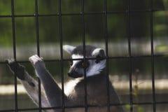 Лемур в клетке в зоопарке Стоковое Изображение