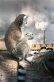 Лемур есть салат, смотря уныло на печной трубе электрической станции тепловой мощности Стоковое Изображение RF