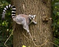 Лемур замкнутый кольцом на дереве Стоковые Фото