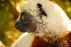 Лемур конца-вверх Мадагаскар Стоковые Изображения RF