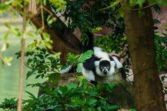 Лемур, кольц-замкнутое catta лемура лемура, животное, живая природа Стоковое фото RF