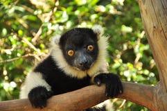 Лемур Мадагаскара, эндемичного вида Стоковое Изображение