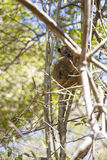 Лемур мыши Брайна пряча на дереве в солнечном дне в Мадагаскаре Стоковая Фотография