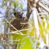 Лемур мыши Брайна пряча на дереве в солнечном дне в Мадагаскаре Стоковые Изображения RF