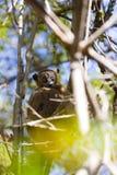 Лемур мыши Брайна пряча на дереве в солнечном дне в Мадагаскаре Стоковые Фото